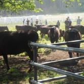 5/27 食料生産利用学動物実験Ⅲ(放牧牛の管理)