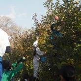 11/17 リンゴの収穫