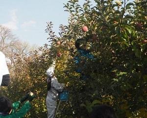 リンゴの収穫.jpg