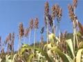 平成26年度放送公開講座 第3回「期待の穀物 ソルガムがひらく中山間地の将来」