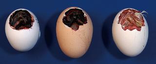 ドナー鶏、宿主鶏、黒い羽のヒヨコ