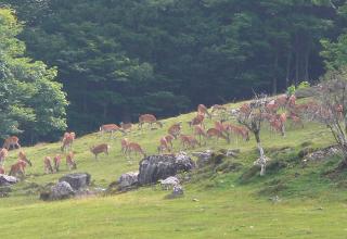 放牧地に現われたニホンジカの群れ