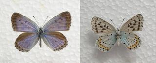 オオルリシジミ♀の表(左)と裏(右)