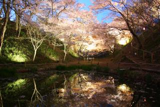 ライトアップされ幻想的な桜