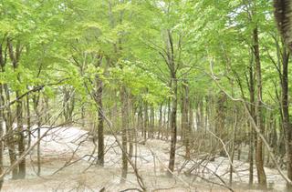 飯山市のブナ林