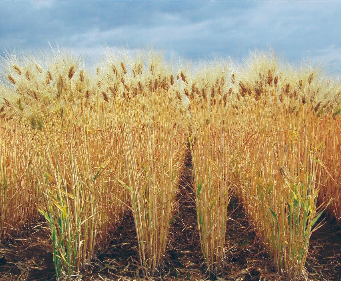 barley2017_07.png
