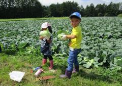 キャベツ収穫②