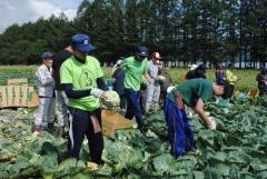 キャベツの収穫に挑戦