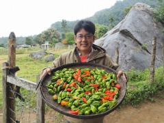 収集したchinense種のトウガラシ遺伝資源と松島准教授
