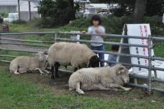羊とのふれ合い