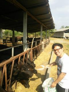 コラート和牛へのエサやり