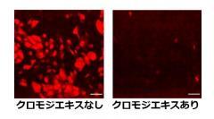 培養細胞へのインフルエンザウイルスの感染と同時にクロモジエキスを培地中に添加し、6時間後のウイルスタンパク質(NP)発現を免疫蛍光染色法により観察した。エキス添加により発現の顕著な低下が観察された。