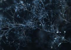 アーバスキュラー菌の培養菌糸