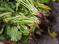 羽広かぶ(信州の伝統野菜)