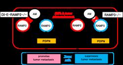 「血管内皮細胞特異的RAMP2ノックアウトマウス(DI-E-RAMP2-/-)およびRAMP3ノックアウトマウス(RAMP3-/-)における、癌の転移促進および抑制のメカニズム」