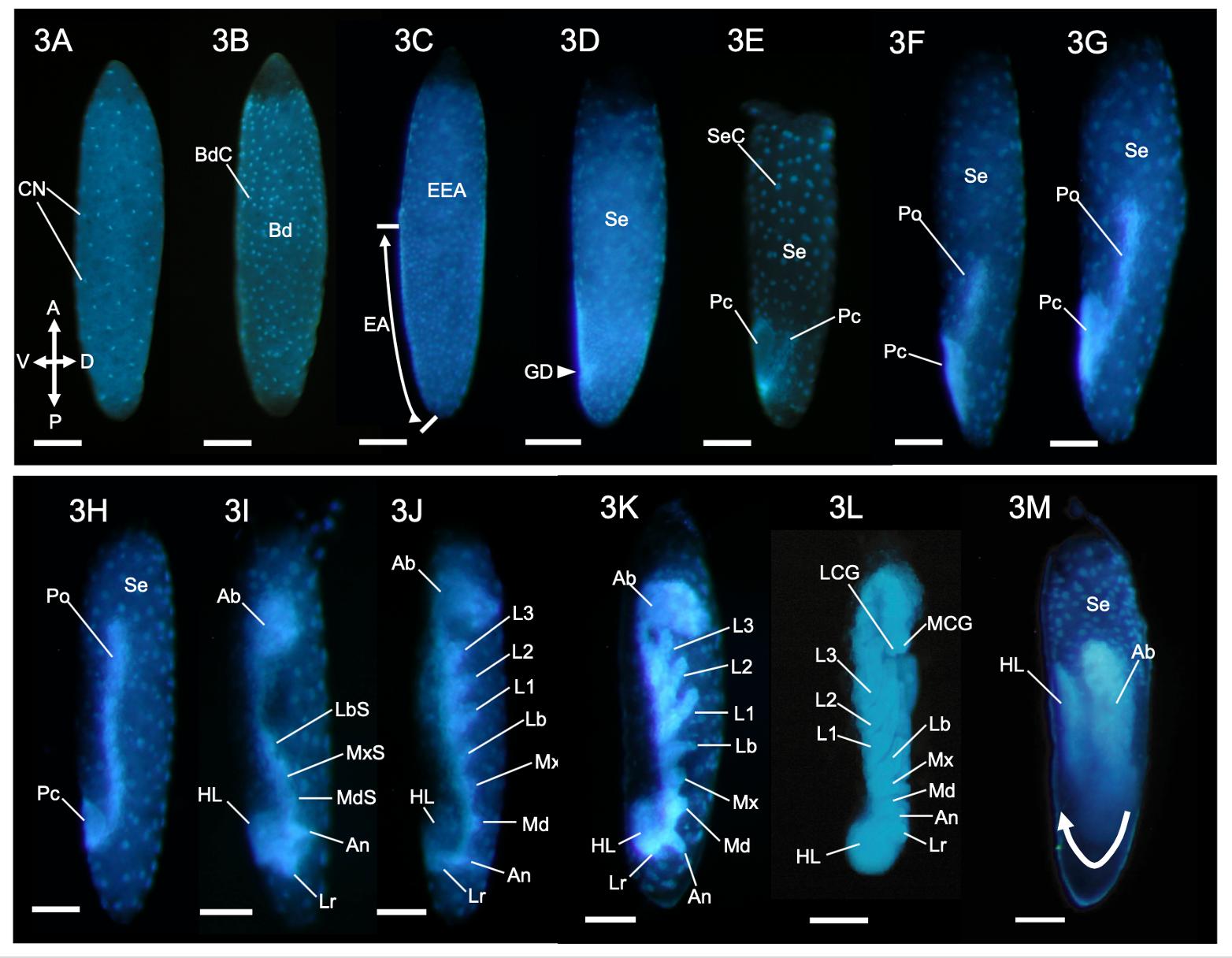 写真2:コナカハグロトンボの胚発生過程の概略(論文のFigureから)。厚く頑丈な卵殻を特殊な薬品で除去し、卵膜に小さな穴を穿孔して固定した後に、DNAを特異的に蛍光染色するDAPI試薬にて染色した胚形成プロセス。