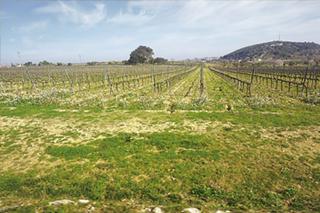 ワイン用ブドウの木